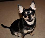 Väntande på fester för gullig Chihuahua royaltyfri bild