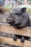Väntande på lunch för svin royaltyfri bild