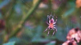 Väntande på mat för metallisk spindel lager videofilmer