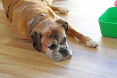 Väntande på matställe för hund Royaltyfria Foton