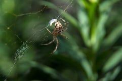 Väntande på matställe för liten spindel Royaltyfri Fotografi