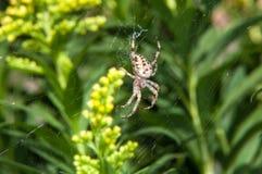 Väntande på matställe för liten spindel Arkivfoto