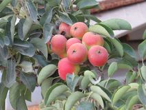 Väntande på odling Bambinella för maltesisk päronfrukt arkivbilder