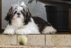 Väntande på saker för Shih-tzu hund som händer Royaltyfri Bild