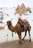 Väntande på turister för kamel Royaltyfria Foton