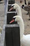 Väntande svanar Fotografering för Bildbyråer