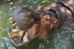 väntande zoo för matflodhäst Arkivfoto