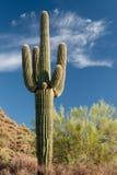 Värdig Saguaro Royaltyfri Bild