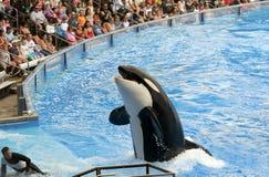 värld för orcaorlando hav Fotografering för Bildbyråer