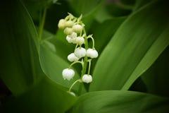 värld för vildmark för dal för liljanaturryss Arkivfoton