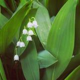värld för vildmark för dal för liljanaturryss arkivbilder