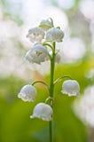 värld för vildmark för dal för liljanaturryss Royaltyfria Bilder