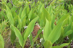 värld för vildmark för dal för liljanaturryss Royaltyfria Foton