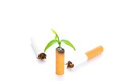 Värld ingen tobakdag: Cigarett och nyfödd växt för gräsplan Fotografering för Bildbyråer
