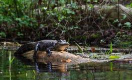 Värma sig amerikansk alligator på journalen, fristad för djurliv för Okefenokee träsk nationell royaltyfri fotografi