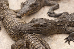 Värma sig Crocs Arkivbild