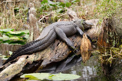Värma sig för alligator för Okefenokee träsktjur Royaltyfri Bild