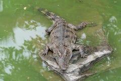 Värma sig i solsken-krokodil-Crocodylusen siamensisen Arkivfoto