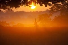värma sig morgonfullvuxen hankronhjortsun Royaltyfri Fotografi