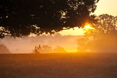 värma sig morgonfullvuxen hankronhjortsun Royaltyfri Bild
