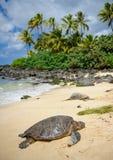 värma sig oahu sunsköldpaddor arkivfoton