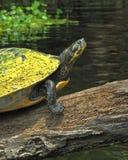 Värma sig sköldpadda på Santa Fe River Royaltyfri Bild