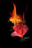 Värme från härlig röd ros Fotografering för Bildbyråer