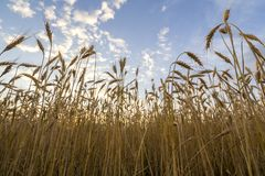 Värme kulört guld- moget för att skörda vetefältet Jordbruk-, lantbruk- och richskördbegrepp royaltyfria foton