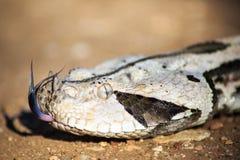 Västra - afrikansk gaboonhuggorm Royaltyfri Foto