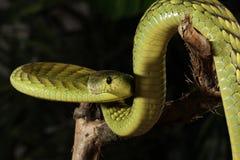 Västra - afrikansk grön Mamba Royaltyfri Fotografi