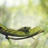 Västra - afrikansk grön Mamba Arkivfoto