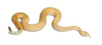 västra albinosdiamondbackskallerorm Royaltyfria Bilder