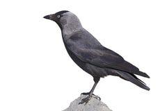 Västra alika (Corvusmonedulaen) Arkivbild