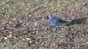Västra alika som går på gräs Arkivfoto