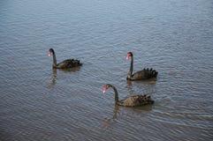 Västra Australien svarta svanar arkivbilder