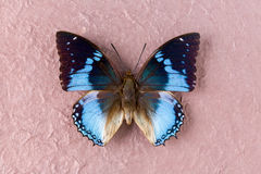 Västra blå Charaxes fjäril Royaltyfri Fotografi