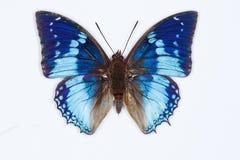 Västra blå charaxesfjäril, på vit Arkivfoton