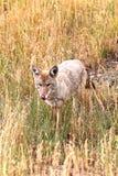 västra canisprärievarglatrans Royaltyfria Bilder