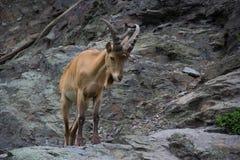 Västra caucasian turget i natur Royaltyfria Foton
