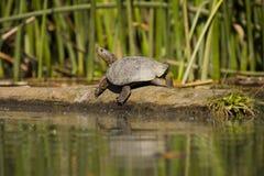 västra dammsköldpadda Royaltyfri Fotografi