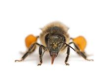 västra europeisk honung för apisbi royaltyfria foton