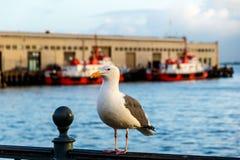 Västra fiskmås i San Francisco, Kalifornien Fotografering för Bildbyråer