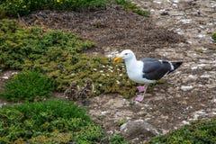 Västra fiskmås och nyfödda fågelungar Royaltyfri Foto