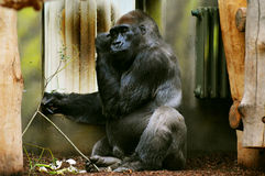 västra gorillalowland Royaltyfri Foto