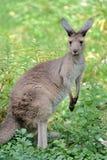västra grå känguru arkivfoton