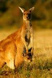 västra grå känguru Fotografering för Bildbyråer
