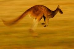 västra grå känguru royaltyfri foto