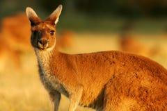 västra grå känguru Arkivfoto