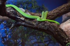Västra grön mamba (Dendroaspisviridis) Royaltyfria Foton