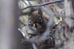 Västra Grey Squirrel i träd Arkivfoto